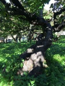 Reale old vinyard