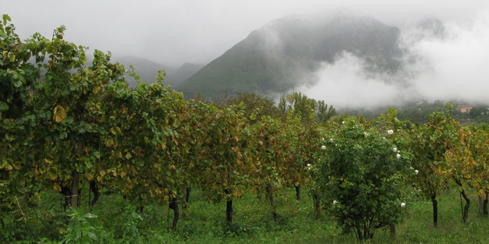 wijngaard in campania