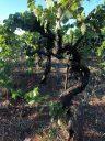 Morella Primitivo bush vines
