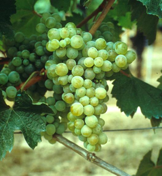 inheemse druiven